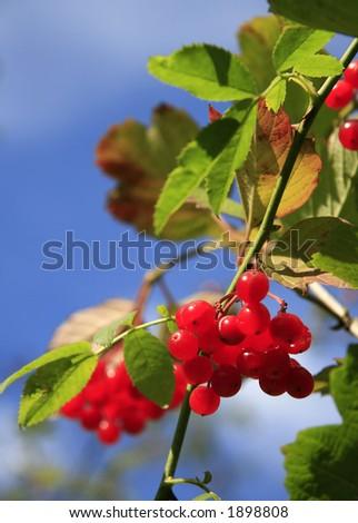 Red berries - stock photo