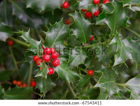 Red berries and thorny green leaves of a holly plant - stock photo