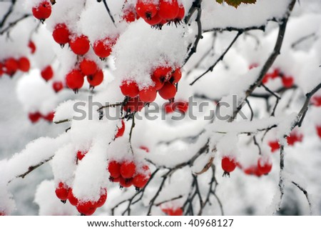red berries covered with snow at winter - stock photo