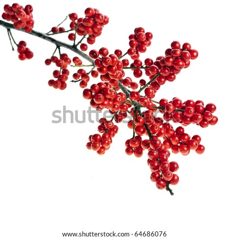 red berries holly  isolated on white - stock photo