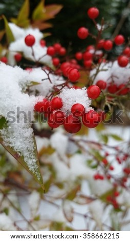 Red berries in winter snow.