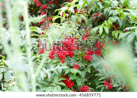 Red berries of elderberry among green leaves - stock photo