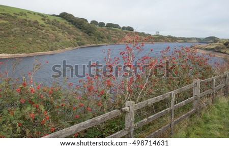 Red Berries of the Rowan Tree (Sorbus) on the Shore of Meldon Reservoir within Dartmoor National Park in Devon, England, UK