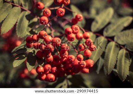 Red berries on a mountain ash or rowan tree, Sorbus aucuparia. - stock photo