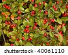 Red berries on as shrub - stock photo