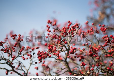 Red berries on hawthorn tree branches in autumn - stock photo