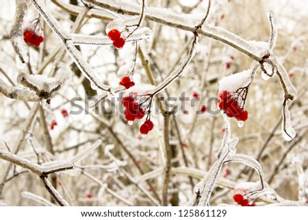 red berries with icicles icy - stock photo