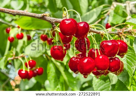 Red berry sweet cherry on a background of green foliage with water drops. Selective focus - stock photo