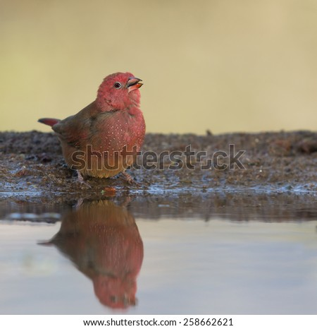 Red billed Firefinch - stock photo
