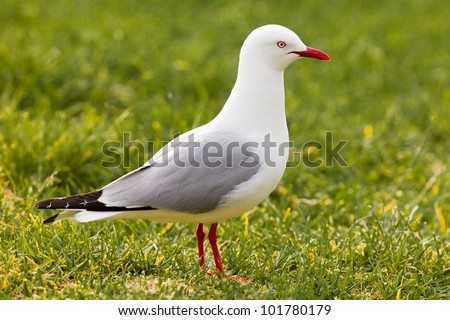 Red-billed Gull, Chroicocephalus scopulinus, foraging in green grass for food - stock photo
