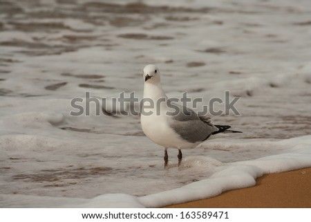 red-billed gull standing in waves - stock photo