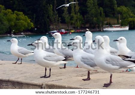 Red-billed gulls in Queenstown New Zealand. - stock photo