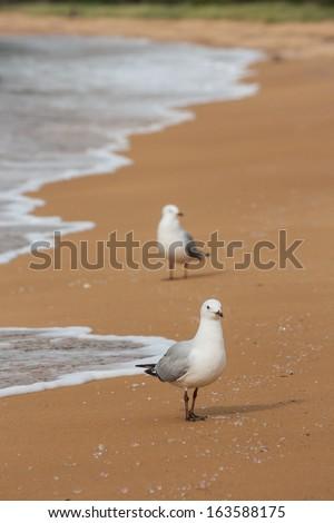 red-billed gulls on sandy beach - stock photo