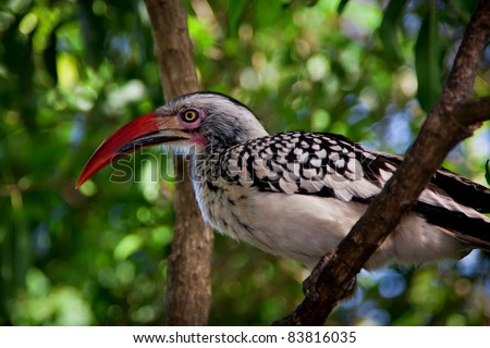 red billed horn-bill in treetop