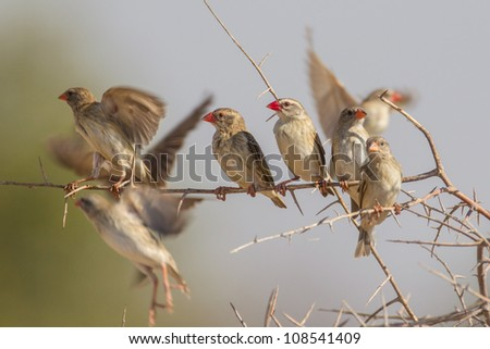 Red-billed quelea in Etosha National Park, Namibia