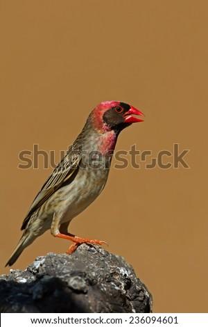 Red-Billed Quelea perched on rock; Quelea quelea - stock photo