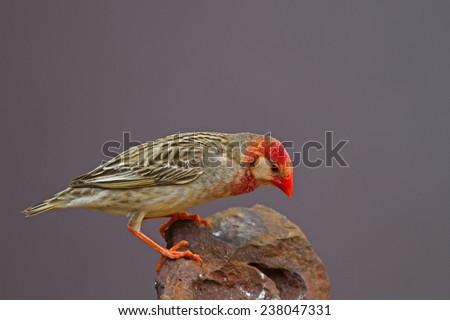 Red-Billed Quelea perched on rock (White mask); Quelea quelea - stock photo
