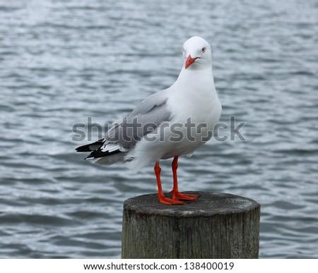 Red Billed Sea Gull (Chroicocephalus scopulinus) - stock photo