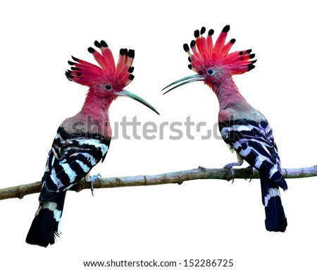 Red bird, Common Hoopoe or Eurasian Hoopoe with spiky hairs and great details of feathers on the same branch - stock photo