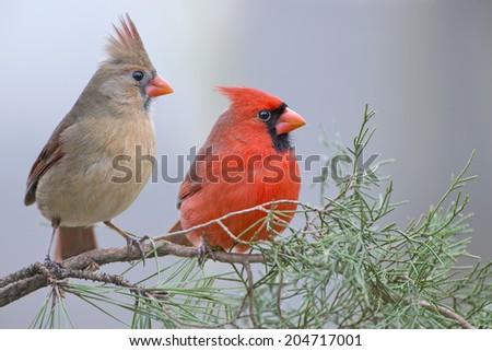 Red Bird Mates on Evergreen Branch - stock photo