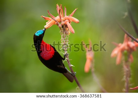 Red,black and blue Scarlet-chested Sunbird Chalcomitra senegalensis, colorful nectar feeding african bird,perched on stem,feeds from orange flower. Blurred green,orange background.KwaZulu Natal, SA.  - stock photo