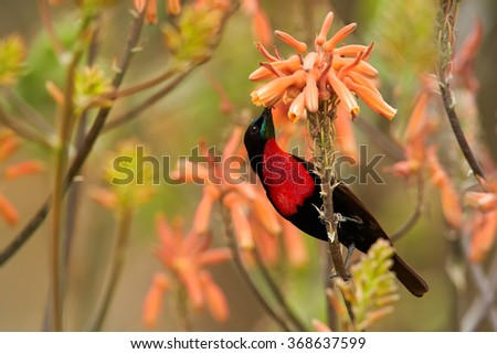 Red,black and blue Scarlet-chested Sunbird Chalcomitra senegalensis,colorful nectar feeding african bird,perched on stem,feeds from orange flower. Blurred orange flowers background.KwaZulu Natal, SA.  - stock photo