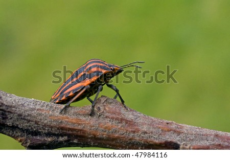 Red - black bug sits on a branch. - stock photo