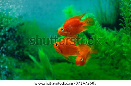 Red Blood Parrot Cichlid in aquarium plant green background. Funny orange colorful fish - hobby concept - stock photo