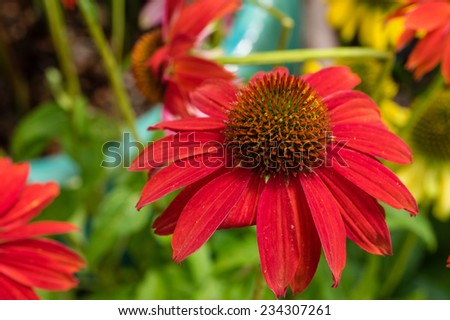 Red blooming Echinacea flowers - stock photo