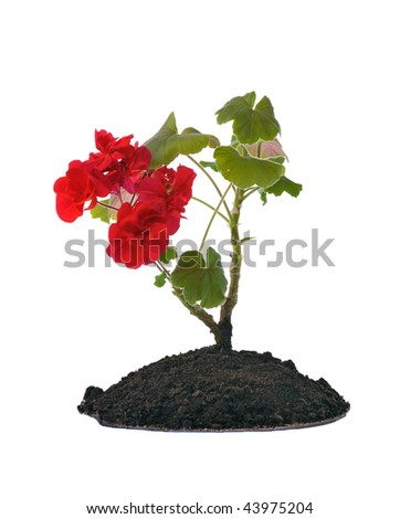 red blooming seedling in soil isolated on white - stock photo