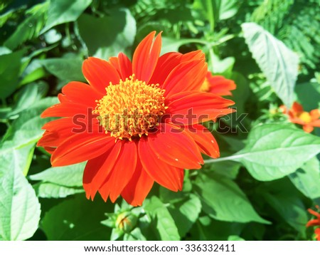 Red Blooming Zinnias Close Up - stock photo