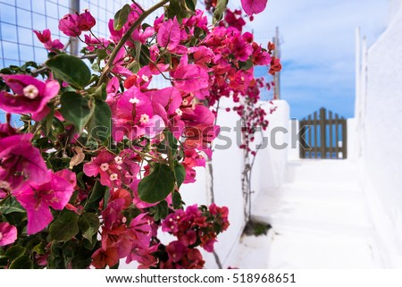 red blossoms in a alley of santorin and at the and a wooden door