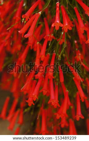 Red blossoms of a firecracker plant. (Russelia equisetiformis)