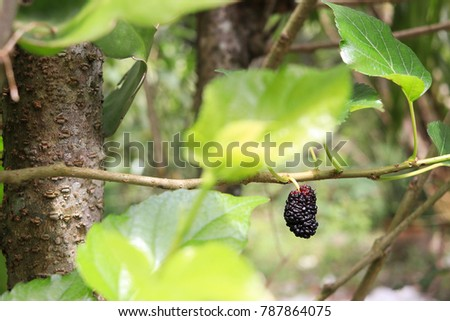red, blue, violet mulberry on branch tree in nature and red ant