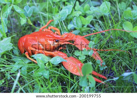Red boiled crawfish on green grass.