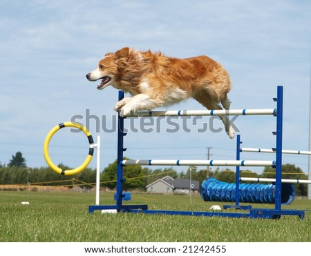 Red Border Collie competing in an agility competition - stock photo