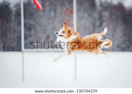 red border collie dog jumping in mid-air - stock photo