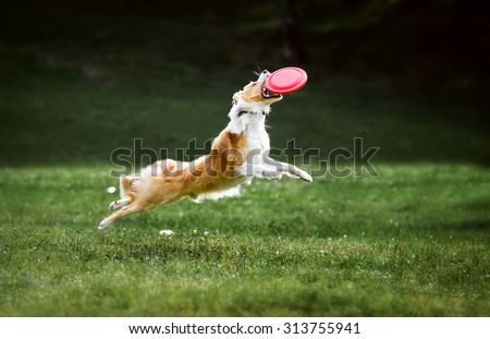 Red border collie dog jumps for a flying disc - stock photo