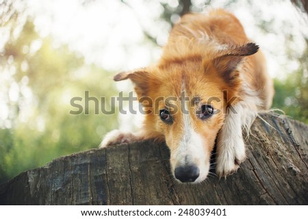 Red border collie dog lying on a log in summer
