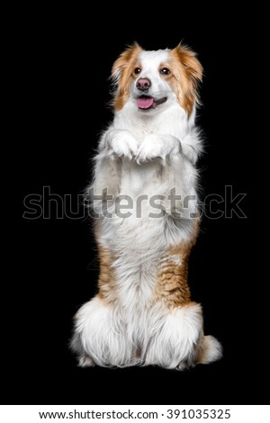 red border collie female isolated on black - Sable Color Cultura