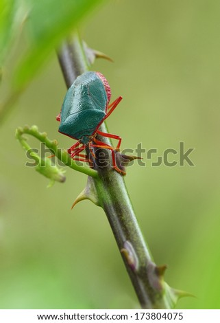 Red-bordered Stink Bug (Edessa rufomarginata). Photo taken in Panama (Central America).