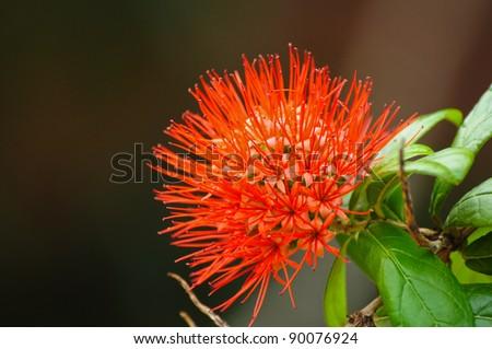 Red bottle-brush flower - stock photo