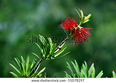 red bottlebrush in bloom in a nature - stock photo