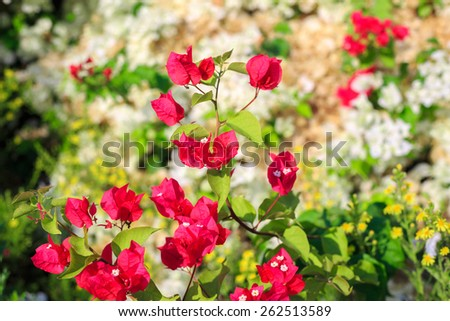 Red bougainvillea on blurred background of white bougainvillea - stock photo