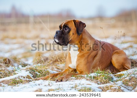 red boxer dog lying down - stock photo