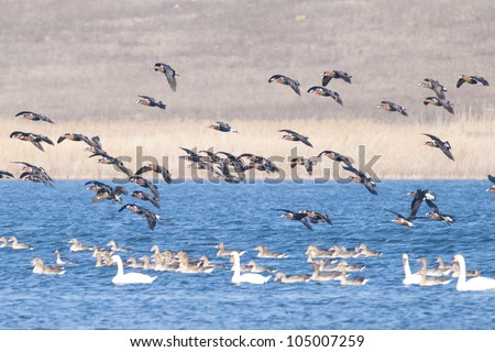 Red Breasted Geese Flock in Danube Delta