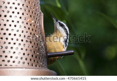 Red-breasted Nuthatch at the Bird Feeder