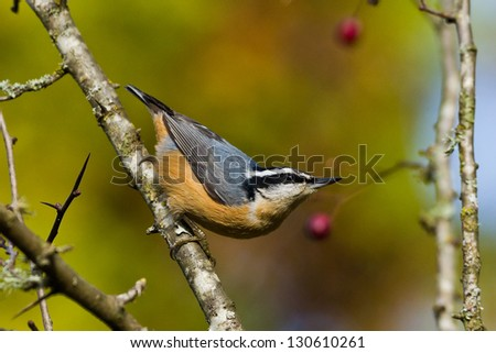 Red-breasted Nuthatch (Sitta canadensis) is a small songbird. - stock photo