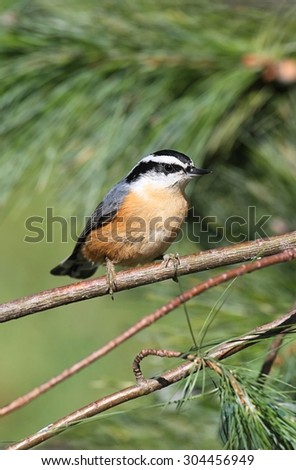 Red-breasted Nuthatch (sitta canadensis) on a perch with a green background - stock photo