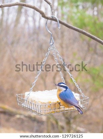 Red-breasted nuthatch visiting a suet feeder. - stock photo